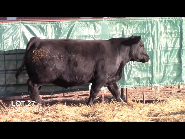T Bar T and Taliaferro Angus Lot 27