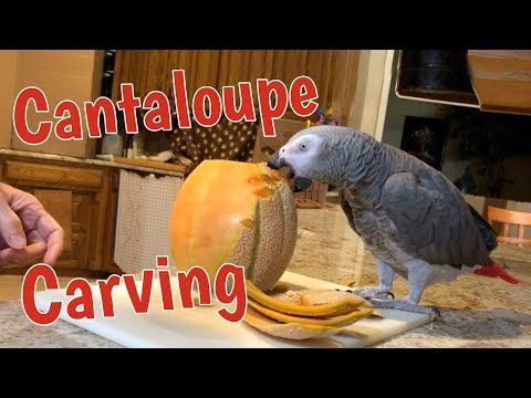 Einstein Parrot interrupts cantaloupe carving to enjoy a treat