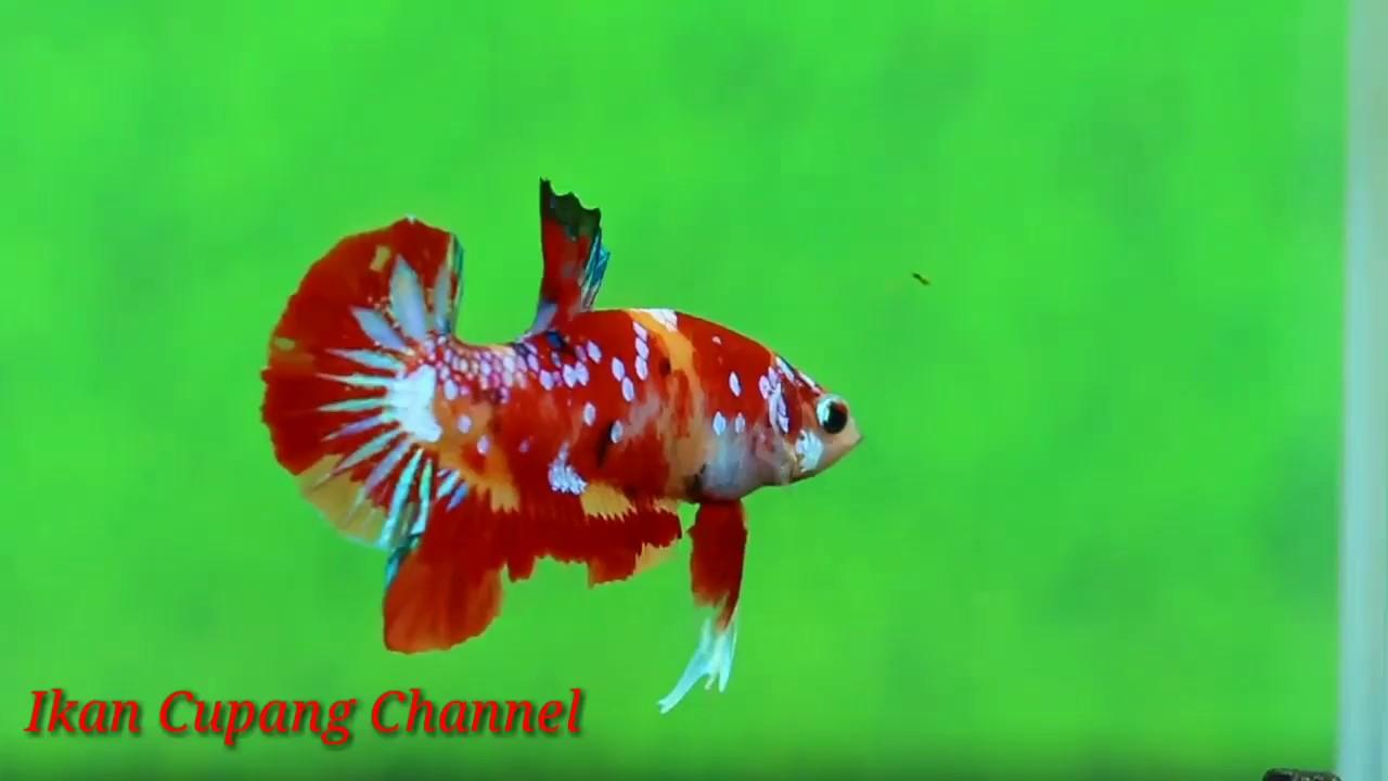 Warna Warna Ikan Cupang Koi Nemo Youtube