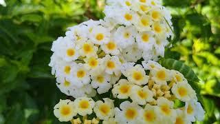 White flower charm 하얀 꽃의 매력