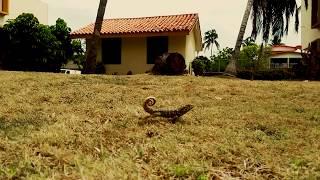 slow lizard