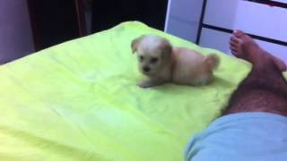 Filhote De Poodle Micro Toy Brincando Safado Latindo E Fazendo Xixi.