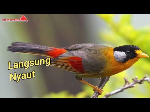 Nyerecet Dahsyat Sepah Raja Gacor Bagus Buat Masteran Cute766