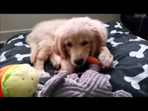 Golden Retriever puppy growing up (0-10 months)