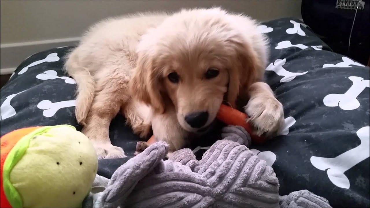 Golden Retriever Puppy Growing Up 0 10 Months Youtube
