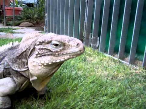 """Cayman Brac Iguana """"Obedient Lizard"""" Buddy=trained lizard"""
