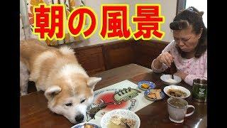 大型犬の朝 秋田犬 シベリアンハスキー犬 シェパード犬 クッキー存命の1...