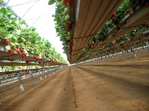 Pelemix Strawberry Growbags Crop On Hanging Gutters Avi
