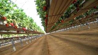 Pelemix -strawberry Growbags Crop On Hanging Gutters.avi