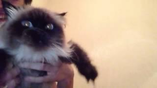 Мяу Невский маскарадный котян