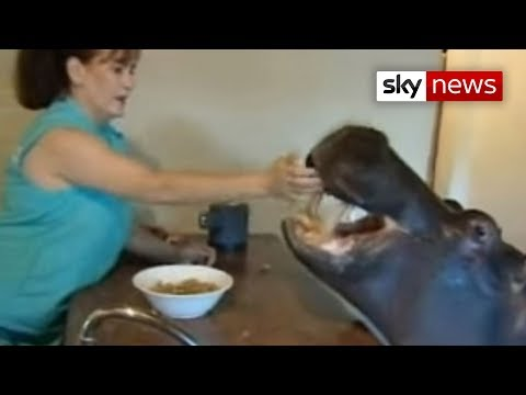 A family's pet hippo casually walks into the house for food