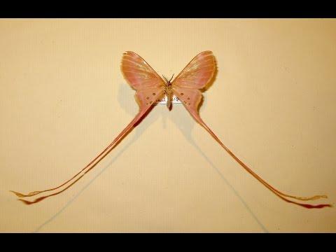 Eudaemonia Moth mount and repair. Part two.