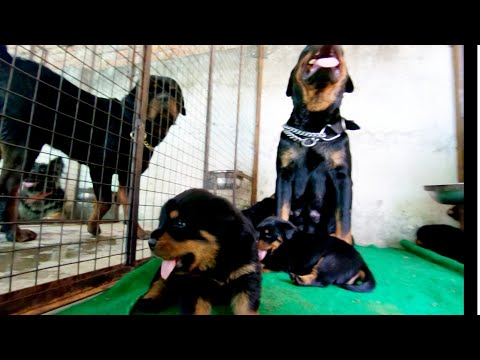 #Rottweiler #Jaipur - Best place to buy #puppies