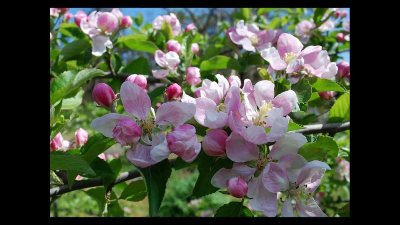 Скачать песню лучше нету того цвету когда яблоня цветет