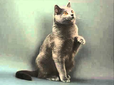 Chartreux | Collection Of Cat Pictures