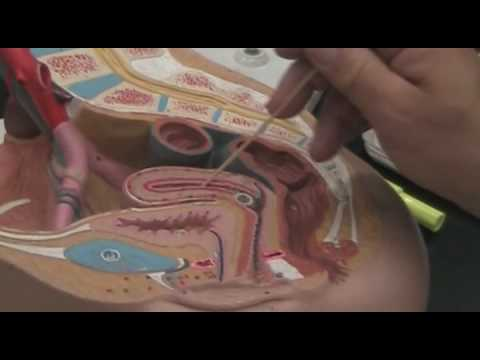 Digestive System and Female Reproductive System Part 1 ...