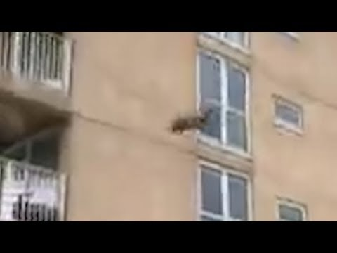 Raccoon Scaling Building New Jersey then Jumps, Ocean City B