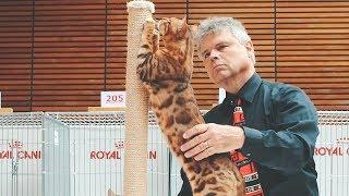 Bengal Cat in TICA Show