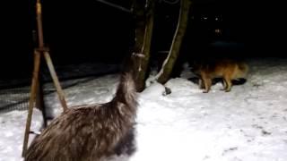 #1 Struś emu i zabawa z psem
