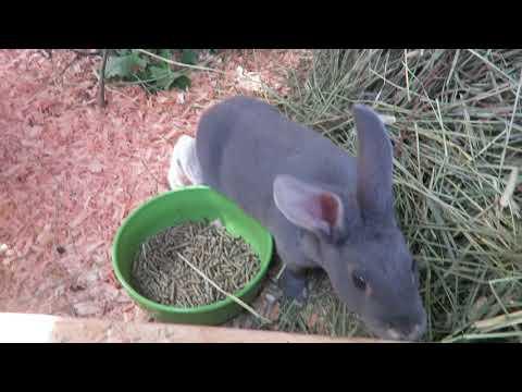 8 Week Old Rex Rabbits