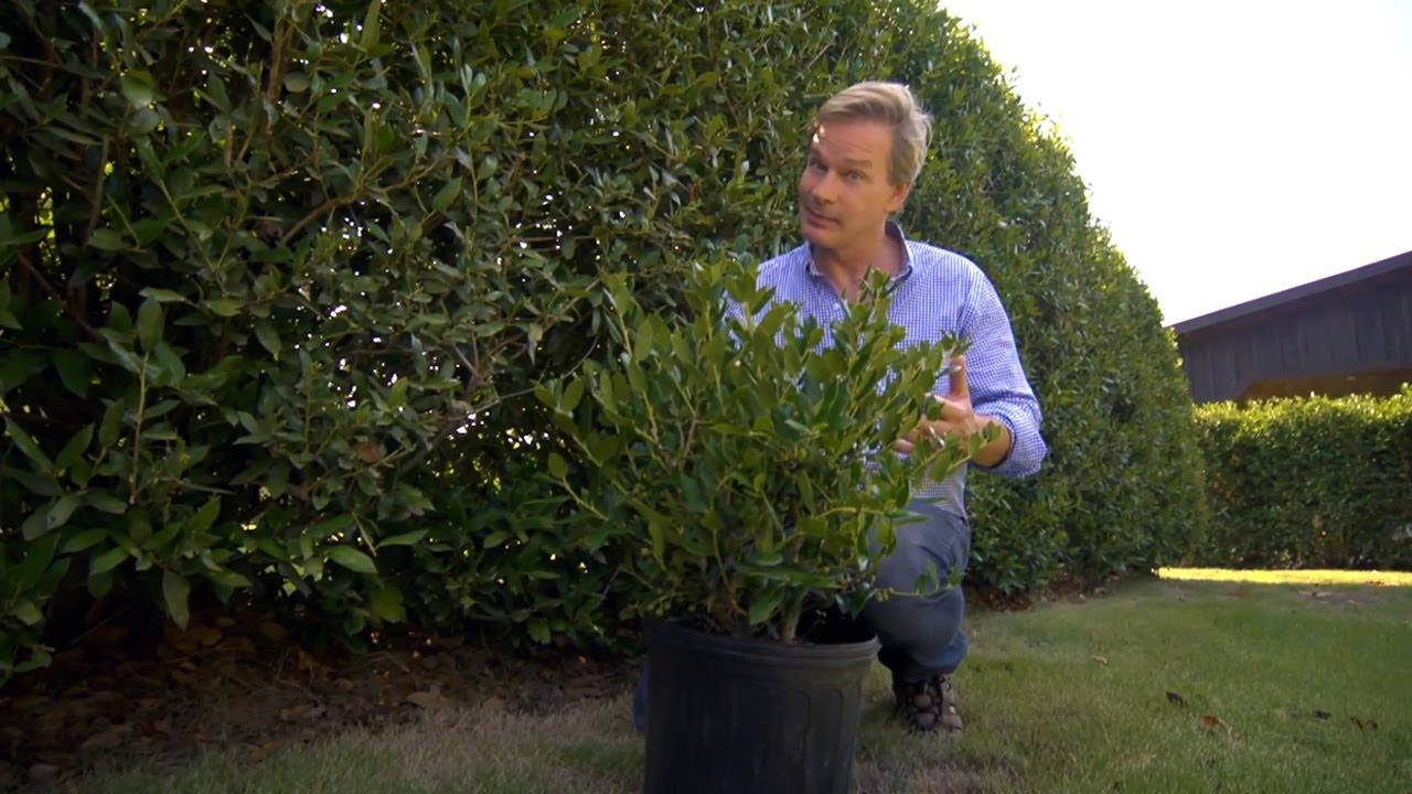 How To Grow Hedge Screens At Home With P Allen Smith
