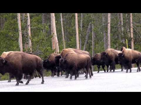 Bison herd moving through Yellowstone Nation Park
