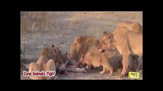 Bismile - Buffalo Vsライオンと死の戦い - 野生動物の戦い . bismile -...