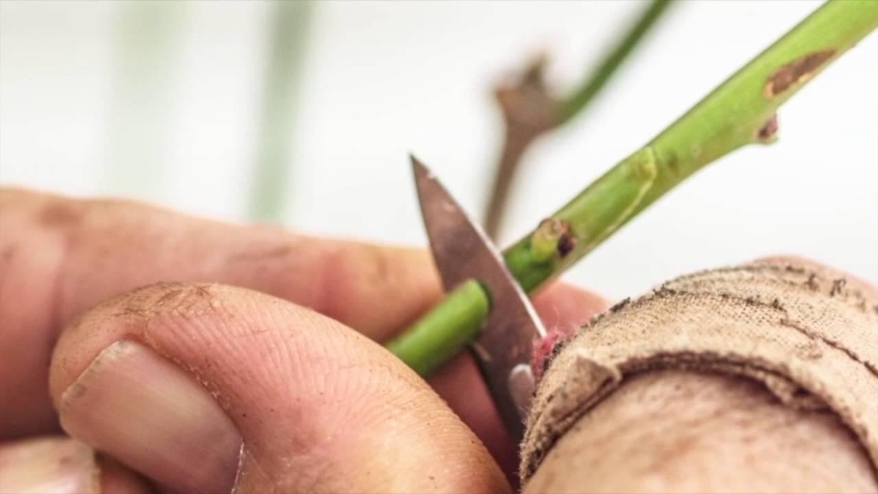 Viveros hernandorena microinjerto en frutales youtube for Viveros frutales