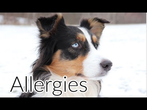 All About Dog Skin Allergies