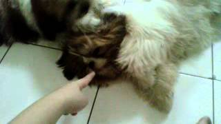 Carlos And Carly- Cc The Dogs - The Naughty Shihtzu Dogs Getting Itchy And Look So Cute + Biting My