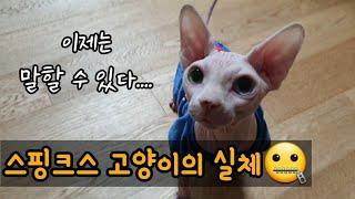 스핑크스 고양이를 키우면 안되는 이유 (스핑크스 고양이…