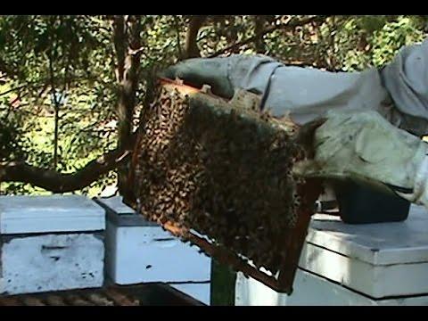 Beekeeping: Strengthening a Weak Hive