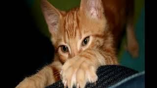 Как отучить кошку драть обои?