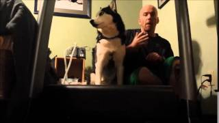 Training Siberian Husky To Run On Treadmill - Dog Training Video