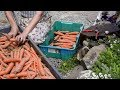 How I Store ROOT VEGETABLES (that last through the winter!)   Market Garden   Grow GREAT carrots!