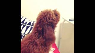 Toy Poodle Barking