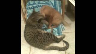 Savannah Cat Djembe plays with Puppy