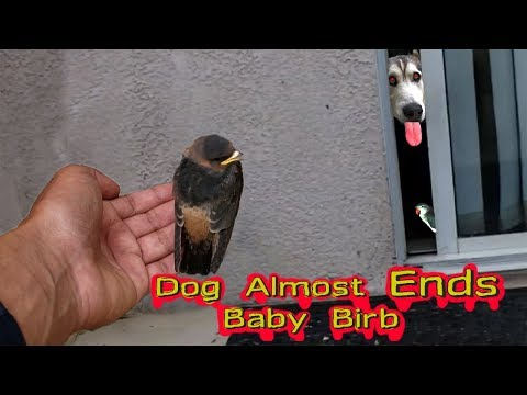 *Built In Squeaker* Rescuing A Squeaking Baby Bird From My HUNGRY Siberian Husky