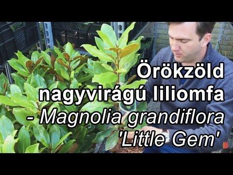 Örökzöld nagyvirágú liliomfa - Magnolia grandiflora 'Little Gem'