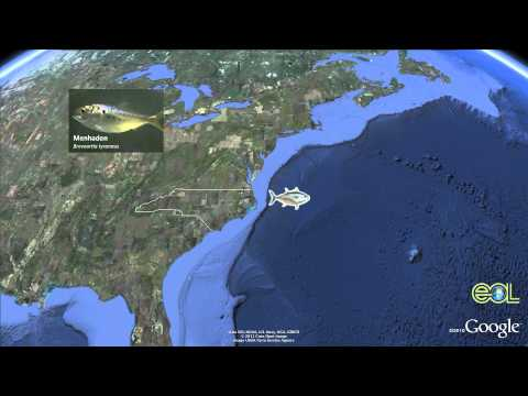 Atlantic Bluefin Tuna Google Earth Tour