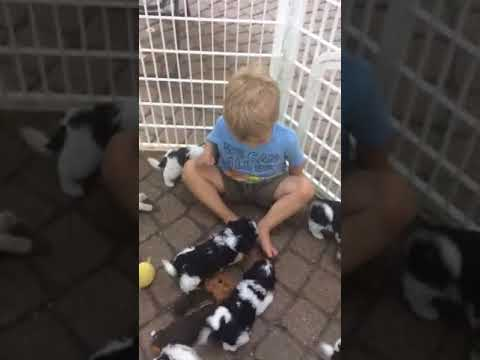 Ben and Our 6 week old Havanese Puppies