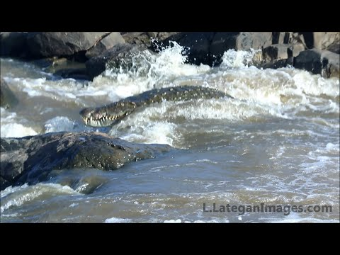 Croc almost gets stuck on rock in rapids