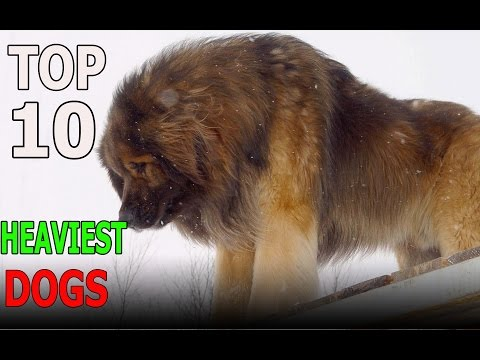 TOP 10 HEAVIEST DOG BREEDS | Top 10 animals