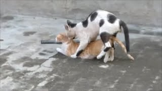 Cats mating - Best cat mating 2