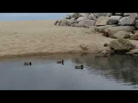 Mallard Duck Beach Holiday You