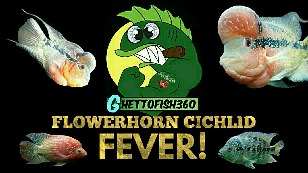 Flowerhorn Cichlids - Motionaquatics UK