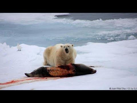 National Geographic I The Danger Of Polar Bears I Nat Geo Documentary
