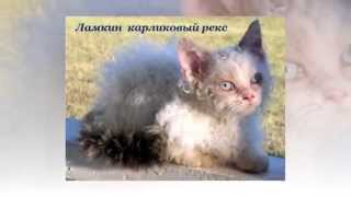 Редкие породы кошек. Сколько стоит кошка?