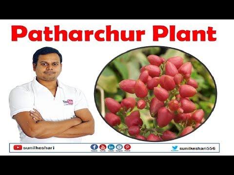 patharchur plant | Patharchatta | Kalanchoe Pinnata | Bryophyllum pinnatum