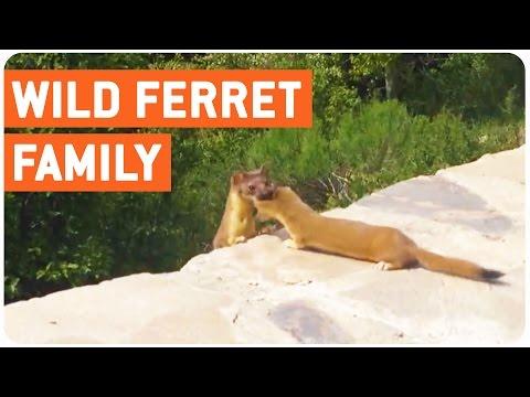 Ferret Babies Following Mom